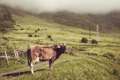 哀伤的奶牛看看照相机 7个动物动画片农厂例证系列 农村的横向 种田概念 下降在英王乔治一世至三世时期草甸的云彩 复制空间 g 免版税库存图片