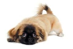 哀伤的小狗休息 免版税图库摄影