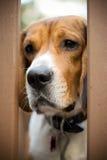 哀伤的小猎犬 免版税图库摄影