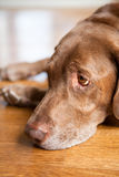 哀伤的巧克力拉布拉多猎犬狗 免版税库存图片