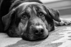 哀伤的德国牧羊犬十字架 库存图片