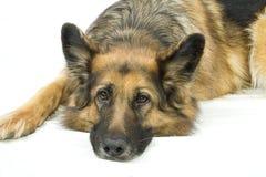 哀伤的德国牧羊犬 免版税库存照片