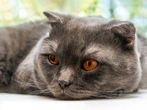 哀伤的慢吞吞的猫,苏格兰人折叠品种,放置他的头在一块白色窗口基石反对树背景 免版税图库摄影