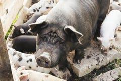 哀伤的母猪用小猪 库存照片