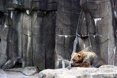 哀伤的熊 免版税库存图片