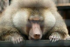 哀伤的狒狒 免版税库存图片