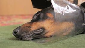 哀伤的狗品种短毛猎犬医疗衣领特写镜头 股票视频