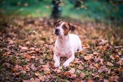 哀伤的狗在惊人的秋天森林里 图库摄影