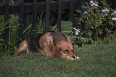 哀伤的狗在草说谎 免版税库存照片