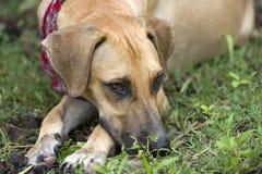 哀伤的狗眼睛 免版税图库摄影