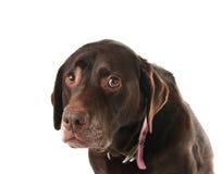 哀伤的狗 免版税库存图片