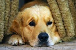哀伤的狗 免版税库存照片