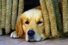 哀伤的狗 图库摄影