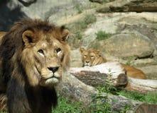 哀伤的狮子 库存图片