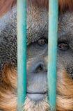哀伤的猴子在动物园里 免版税库存图片