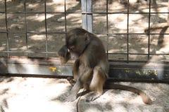 哀伤的猴子短尾猿 免版税库存照片