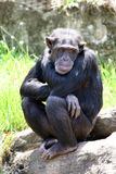 哀伤的猴子 库存图片