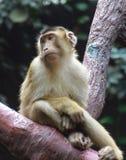 哀伤的猴子 图库摄影