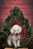 哀伤的白色长卷毛狗在新年 免版税库存图片