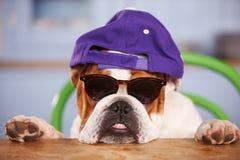 哀伤的看起来的英国牛头犬佩带的棒球帽 免版税库存照片