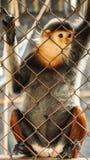 哀伤的红shanked douc,五种颜色危及在笼子的猴子 免版税库存照片