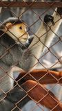 哀伤的红shanked douc,五种颜色危及在笼子的猴子 图库摄影