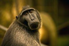 哀伤的苏拉威西岛有顶饰短尾猿猴子 免版税库存照片