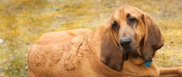 哀伤的血液猎犬 库存照片