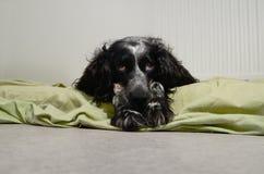 哀伤的西班牙猎狗看照相机 库存照片