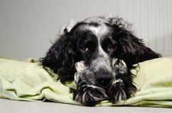 哀伤的西班牙猎狗看照相机 免版税库存照片