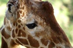 哀伤的长颈鹿` s眼睛特写镜头 免版税库存图片