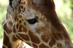哀伤的长颈鹿` s眼睛特写镜头 库存图片