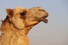 哀伤的骆驼面孔 免版税库存图片