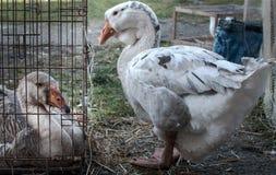 哀伤的鹅,因为他的女朋友在笼子锁了  库存照片