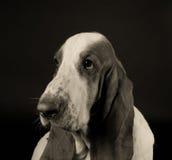 哀伤的贝塞猎狗 库存照片