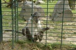 哀伤的猴子 库存照片