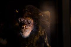 哀伤的黑猩猩 免版税库存照片