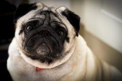 哀伤表面的哈巴狗 免版税库存图片