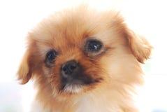 哀伤表面的小狗 库存图片