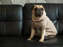 哀伤逗人喜爱的孤独的哈巴狗狗的小狗和坐黑沙发等待某人 免版税图库摄影