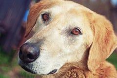 哀伤逗人喜爱的狗的面孔 图库摄影