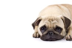 哀伤逗人喜爱的眼睛的哈巴狗 免版税库存照片