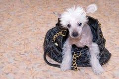 品种中国有顶饰小狗 免版税库存照片