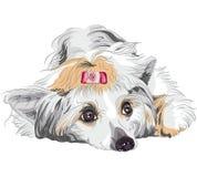 品种中国有顶饰狗草图 库存照片