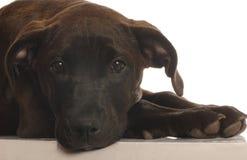 品种交叉实验室混合小狗 库存图片