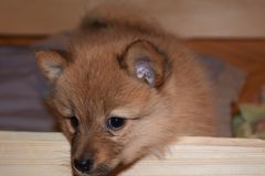 品种可爱的红色小狗芬兰波美丝毛狗 免版税库存照片