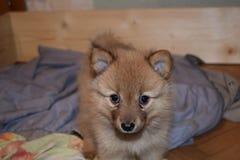 品种可爱的红色小狗芬兰波美丝毛狗 免版税库存图片