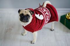 品种可笑的小狗在驯鹿衣服的一个哈巴狗 库存图片