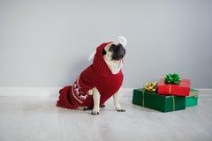 品种哈巴狗可笑的小狗在驯鹿衣服的一个假日之前穿戴 免版税库存照片