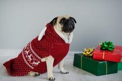 品种哈巴狗可笑的小狗在驯鹿衣服的一个假日之前穿戴 库存图片